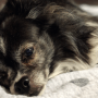 Pets Can Improve Your Mental Health: A small, black & white dog lays on a white blanket on brown, leather couch. The dog is in a sleeping position, but has happened its eyes and is looking gently at the camera.